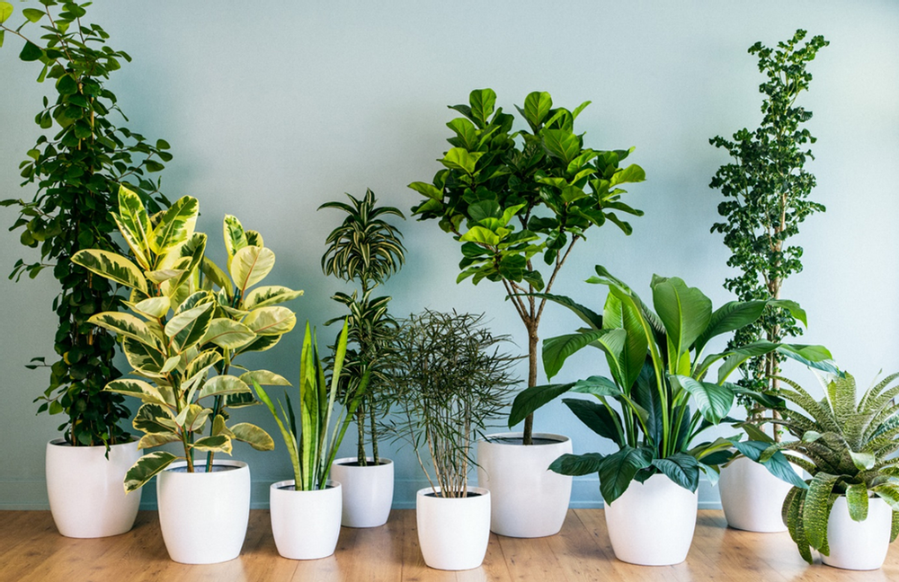 Indoor plants are wonderful for purifying air in home and other indoor spaces. Image Courtesy: credihealth.com